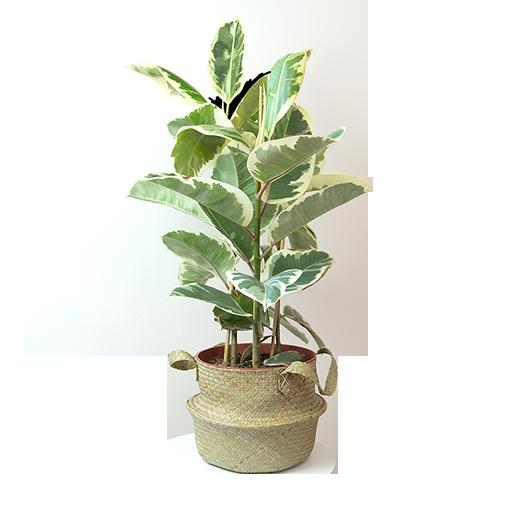 Plantes vertes et fleuries Ficus elastica + cache pot