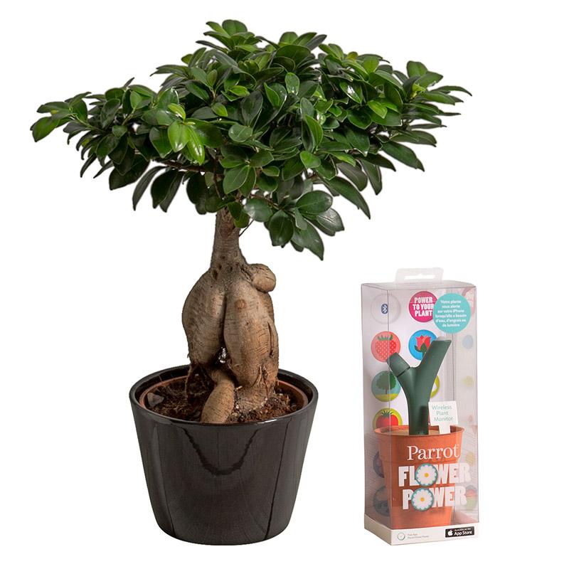 ficus ginseng et son flower power coffret cadeau interflora. Black Bedroom Furniture Sets. Home Design Ideas