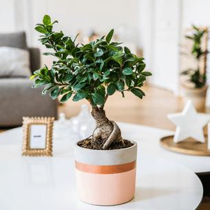 Plantes vertes et fleuries Ficus Ginseng Collection Hommes