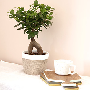 Plantes vertes et fleuries Ficus Ginseng + cache pot