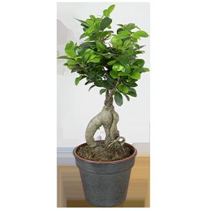 Plantes vertes et fleuries Ficus Ginseng Collection Retraite