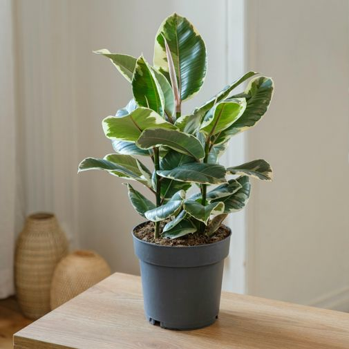 Plantes vertes et fleuries Ficus Elastica Tineke