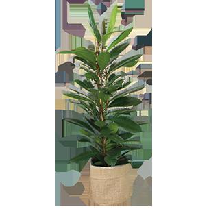 Plantes vertes et fleuries Ficus Cyathistipula Collection Hommes