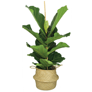 Plantes vertes et fleuries Ficus Lyrata Collection Homme Trendy