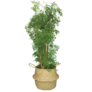 Plantes vertes et fleuries Polyscias Hawaiiana Collection Homme Trendy