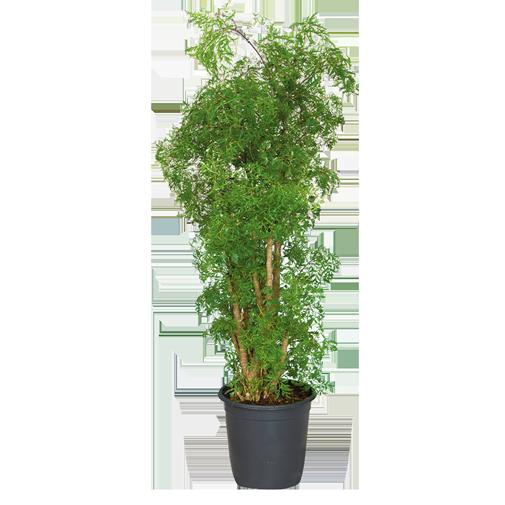 Plantes vertes et fleuries Polyscias Hawaiiana