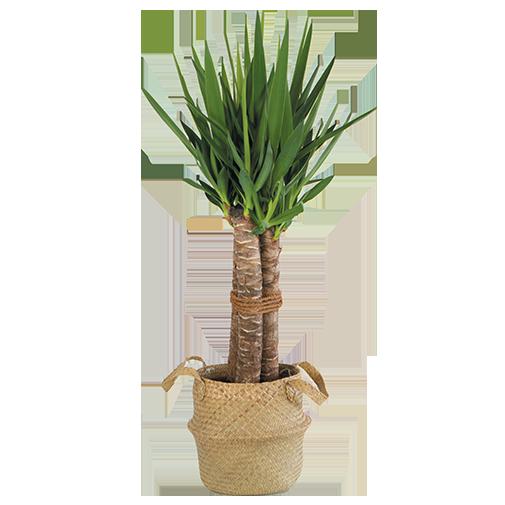 Plantes vertes et fleuries Yucca + cache pot