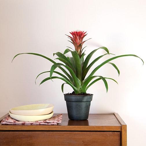 Plantes vertes et fleuries Guzmania + cache pot