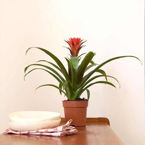 Plantes vertes et fleuries Guzmania