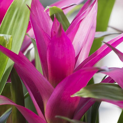 Plantes vertes et fleuries Guzmania bordeaux