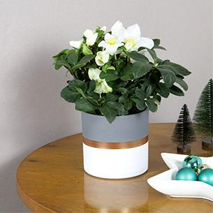 Bouquet de fleurs Hellebore + cache pot Noël