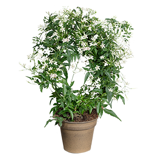 Bouquet de fleurs Jasmin