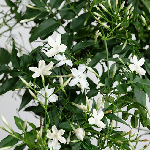 Bouquet de fleurs Jasmin + cache pot