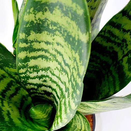 Plantes vertes et fleuries Duo de Sanseverias - 35 cm