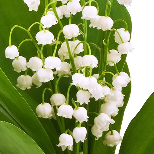 Bouquet de fleurs Muguet des bois et son écrin de chocolats FAUCHON