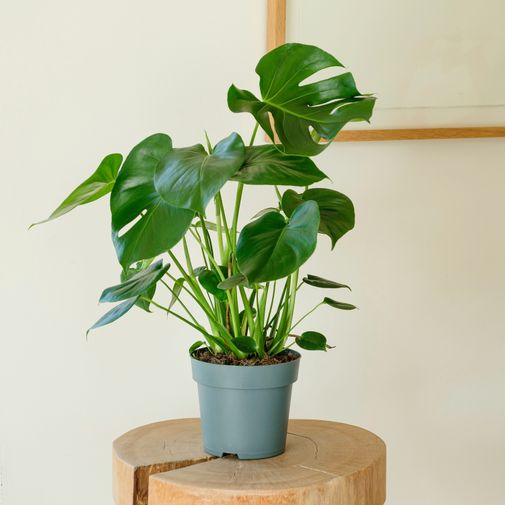 Plantes vertes et fleuries Monstera Deliciosa