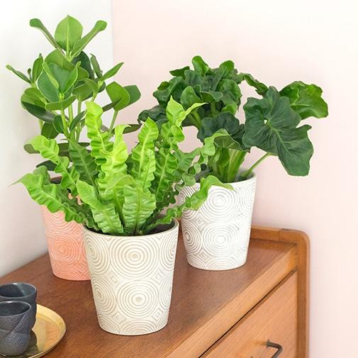 Plantes vertes et fleuries Trio de plantes vertes + cache pot