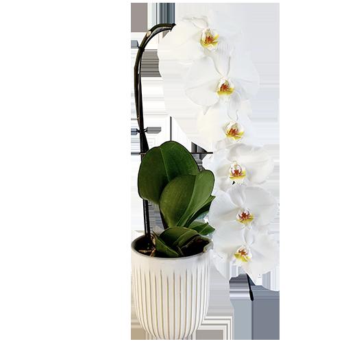 Phalaenopsis Formidablo + cache pot