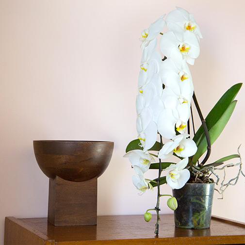 Plantes vertes et fleuries Phalaenopsis Formidablo + cache pot
