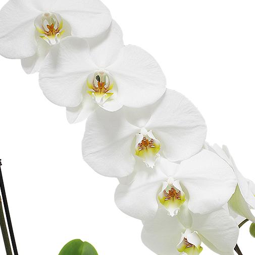 Plantes vertes et fleuries Orchidée Bangalore blanche