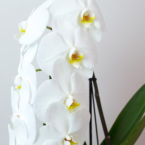 Plantes vertes et fleuries Phalaenopsis Formidablo