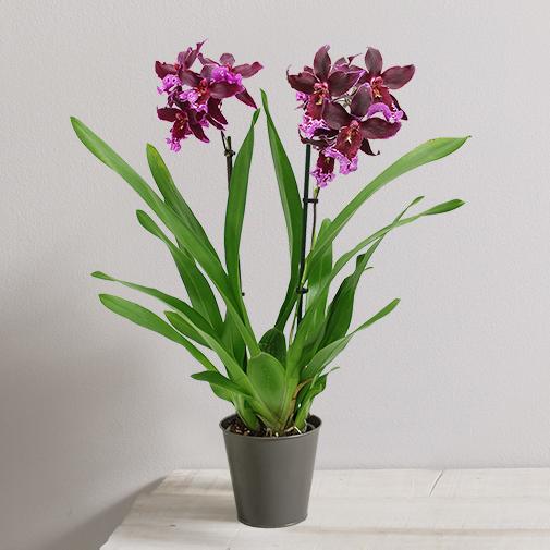 Plantes vertes et fleuries Orchidée Goa bordeaux/violet