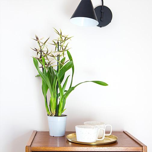 Plantes vertes et fleuries Cambria Melissa + cache pot