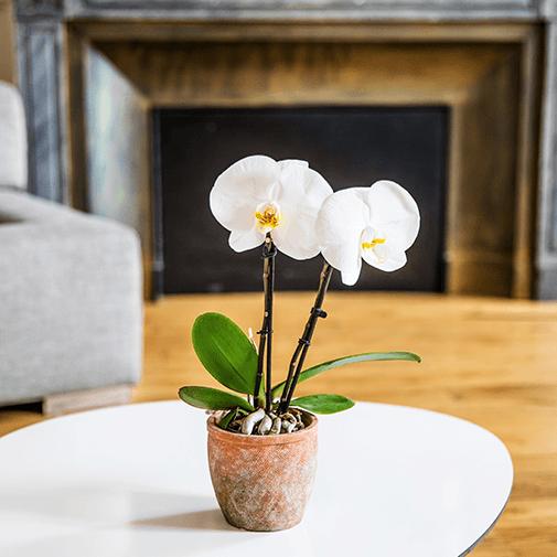 Plantes vertes et fleuries Phalaenopsis Singolo