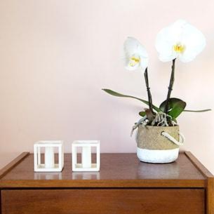 Plantes vertes et fleuries Phalaenopsis Singolo + cache pot Collection Homme Trendy