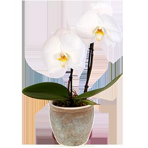 Plantes vertes et fleuries Phalaenopsis Singolo + cache pot Collection Homme Romantique