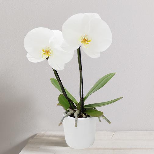 Plantes vertes et fleuries Orchidée Hanoï blanche
