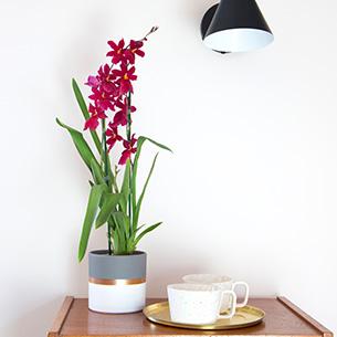 Plantes vertes et fleuries Cambria Nelly isler + cache pot Collection Homme Trendy