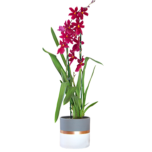 Plantes vertes et fleuries Cambria Nelly isler + cache pot Collection Homme Romantique