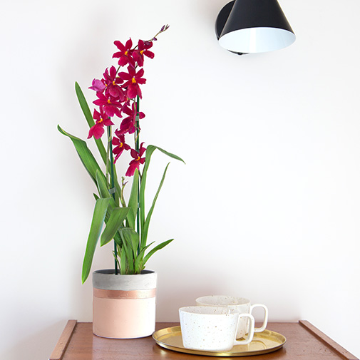Plantes vertes et fleuries Cambria Nelly isler + cache pot