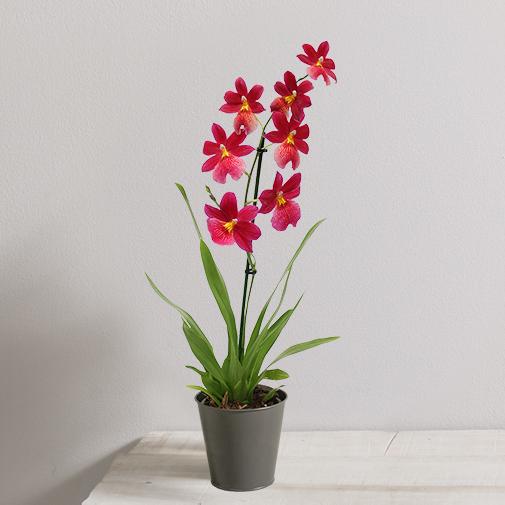 Plantes vertes et fleuries Orchidée Jaipur rouge