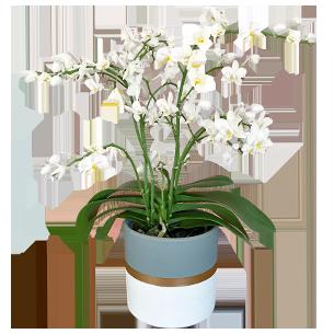 Plantes vertes et fleuries Phalaenopsis multifleurs + cache pot Collection Homme Romantique