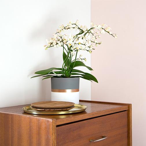 Plantes vertes et fleuries Phalaenopsis multifleurs + cache pot