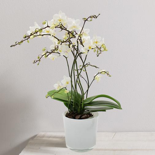 Plantes vertes et fleuries Orchidée Java blanche