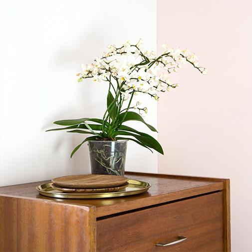 Plantes vertes et fleuries Phalaenopsis multifleurs