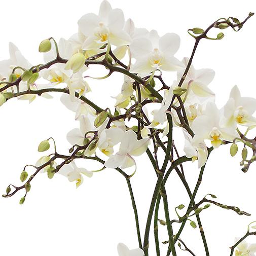 Plantes vertes et fleuries Orchidée Java