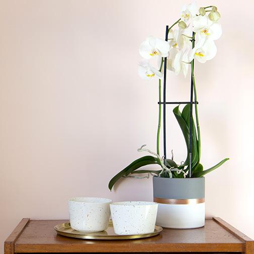 Plantes vertes et fleuries Phalaenopsis Nevada