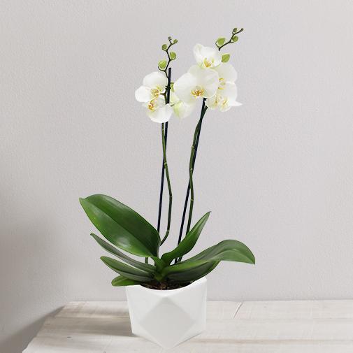 Plantes vertes et fleuries Orchidée Katmandou blanche