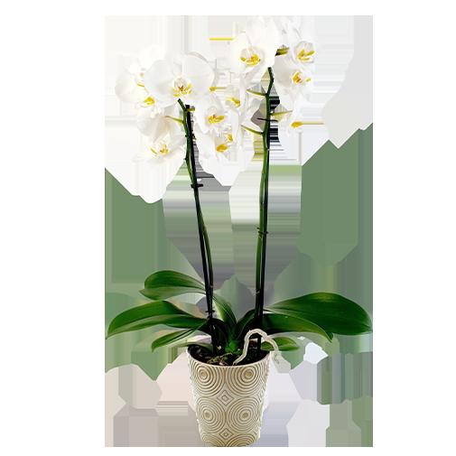 Plantes vertes et fleuries Phalaenopsis blanc + cache pot
