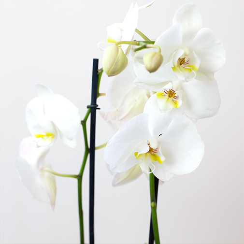 Plantes vertes et fleuries Phalaenopsis blanc