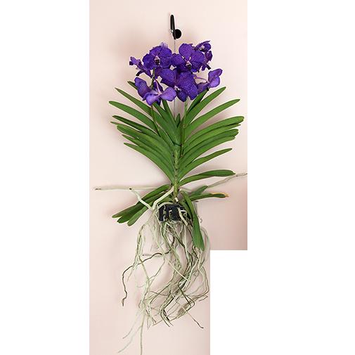 Plantes vertes et fleuries Vanda suspendue