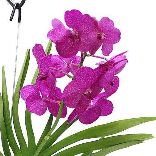 Plantes vertes et fleuries Orchidée Kyoto fuchsia