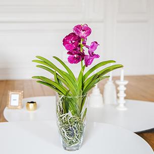 Plantes vertes et fleuries Vanda Mariage