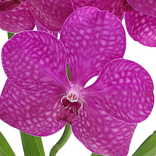 Plantes vertes et fleuries Orchidée Lhassa violette