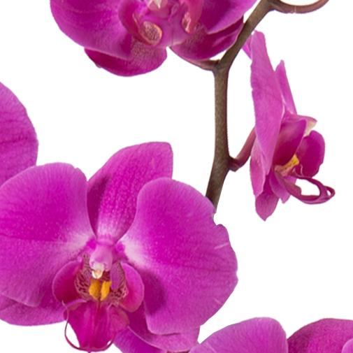 Orchid e et ses macarons fauchon interflora for Fleuriste livreur