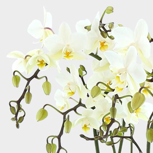 null Orchidée de Noël et l'essentiel FAUCHON